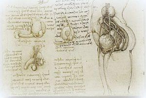 Leonardo-Genitalia-200